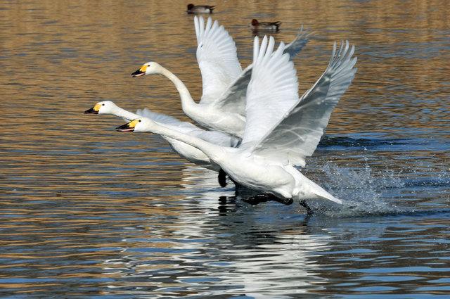 茨城県の白鳥飛来情報 #茨城 #白鳥